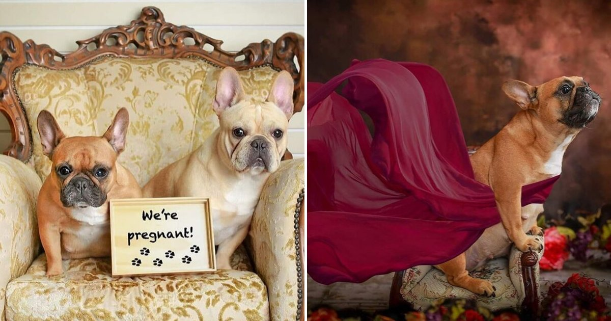 bulldog7.png?resize=300,169 - Bulldog Couple Posed For Maternity Photo Shoot To Prepare For Puppies' Arrival