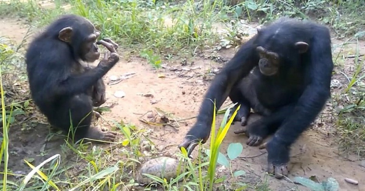c3 7.jpg?resize=1200,630 - A Trio Of Chimpanzees Were Totally Baffled When They Met A Tortoise For The First Time