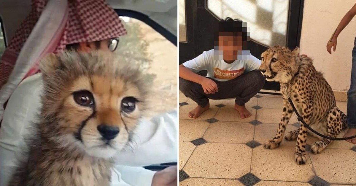 cheetah6.png?resize=1200,630 - Les guépards pourraient disparaître d'ici deux ans, car les trois quarts de leurs bébés sont volés et vendus à des contrebandiers