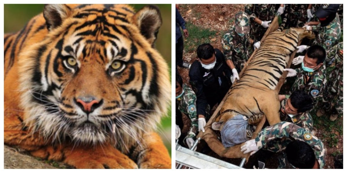 collage fotor 24.jpg?resize=1200,630 - 保護されて救われたはずのトラ、半数以上が死亡 その原因とは