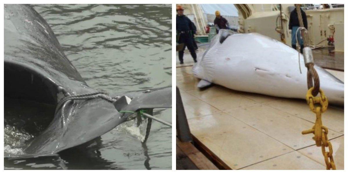 collage fotor 4.jpg?resize=1200,630 - 世界中から非難殺到、日本のイルカ漁。その残酷な捕獲方法とは?