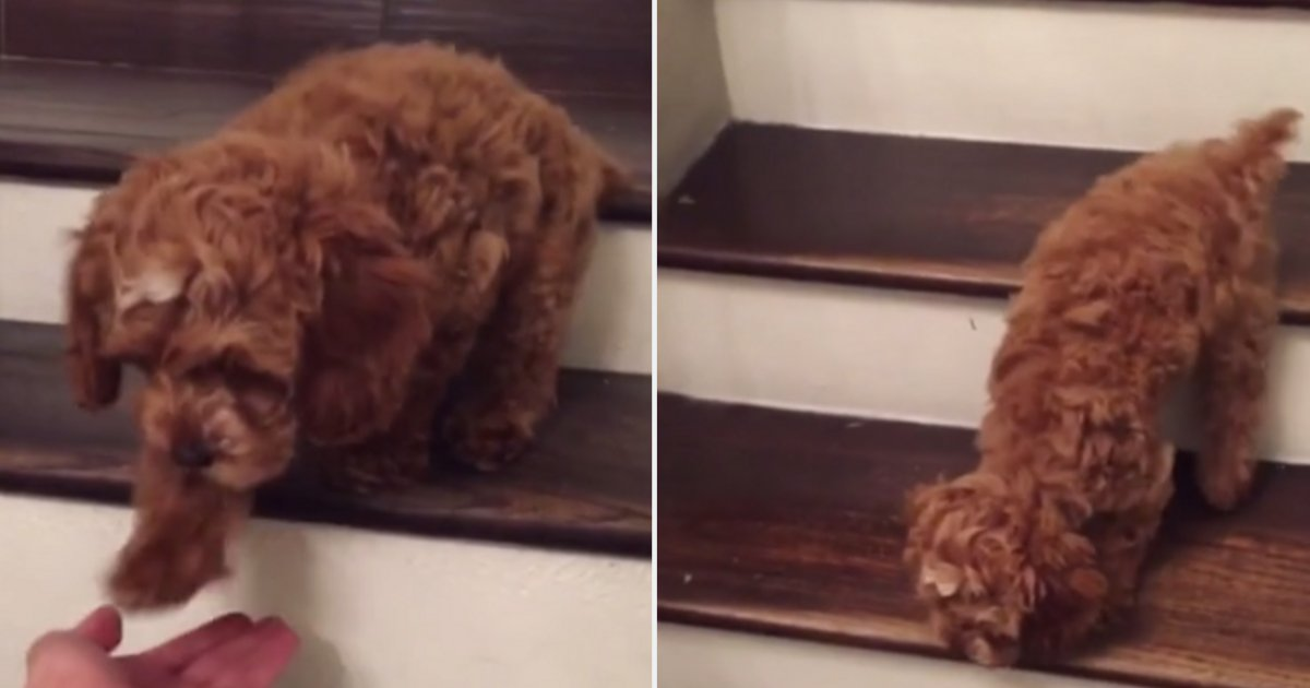 d 4 3.png?resize=1200,630 - Little Pooch Caught in Cameras Climbing Down The Stairs For The First Time