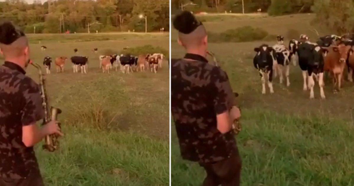 d 5 1.png?resize=412,232 - Un troupeau de vaches court pour écouter un homme jouer une sérénade avec son saxophone