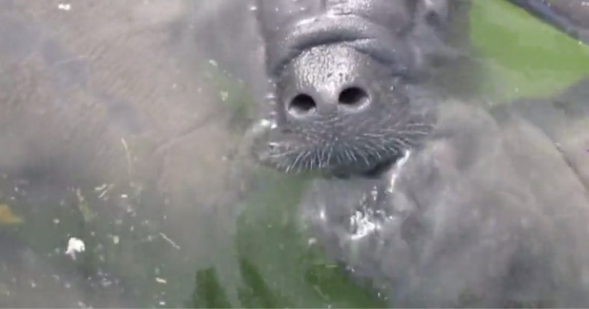 d1 2.png?resize=1200,630 - An Adorable Video of Rescued Manatees Kissing Each Other