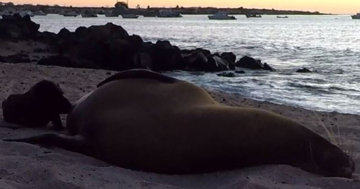 d4 7.png?resize=574,582 - Newborn Baby Sea Lion Adorably Nursing on The Beach