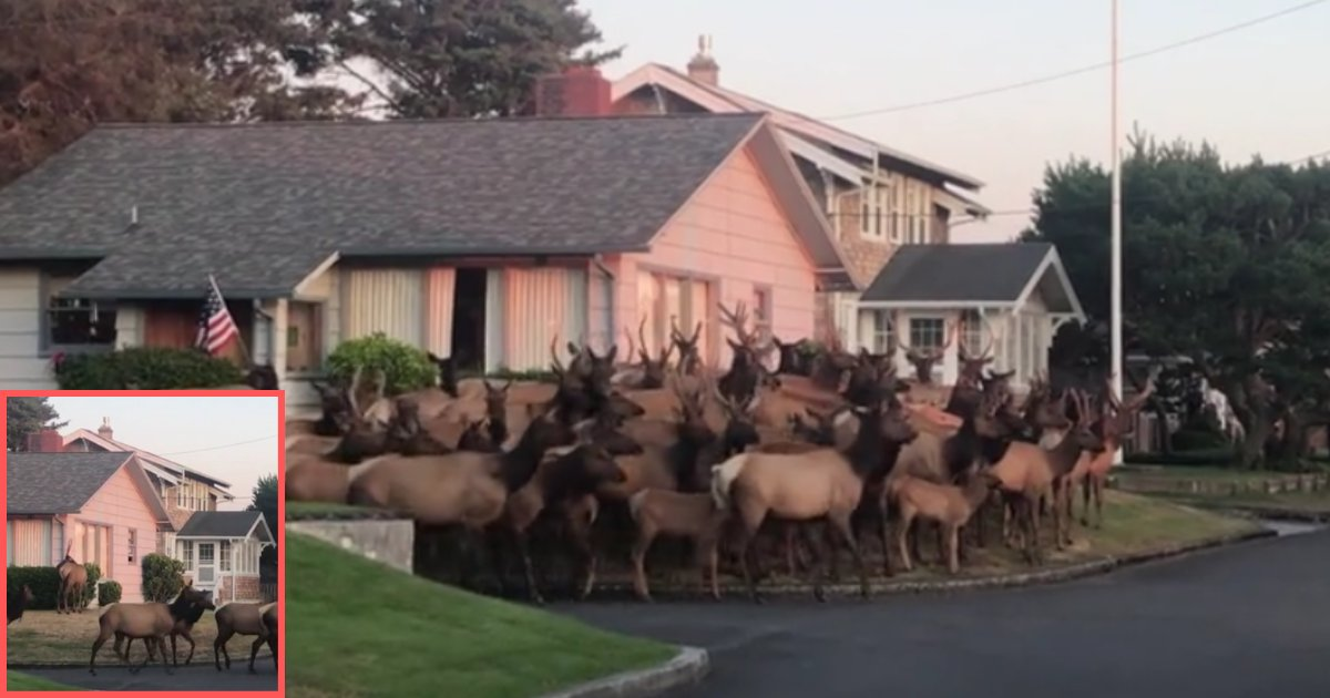 d4.png?resize=1200,630 - A Herd of Elks Spotted Outside Neighborhood House