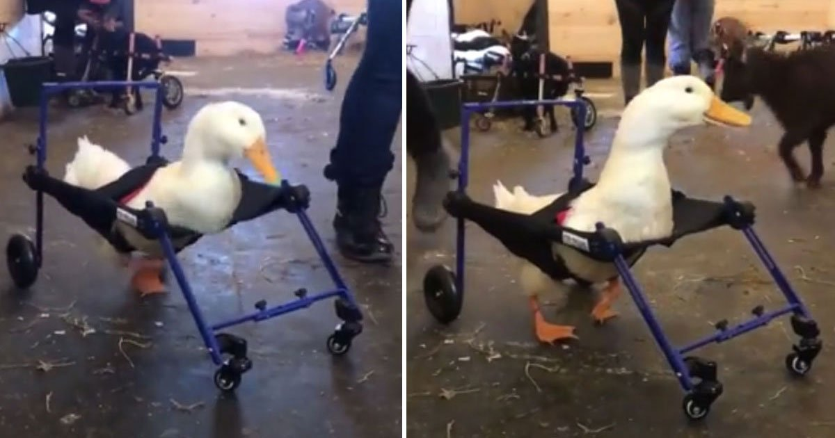 disabled duck wheelchair.jpg?resize=1200,630 - Disabled Duck Took His First Steps After Being Fitted With A Special Wheelchair