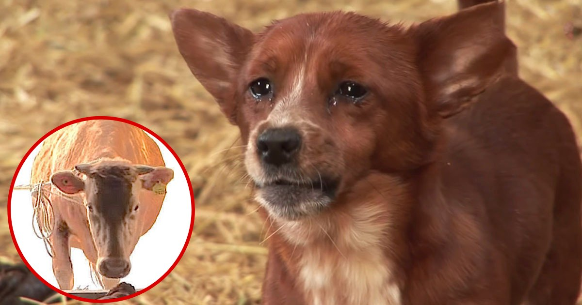 dog4.png?resize=1200,630 - Dog Cried When He Was Finally Reunited With Cow That Raised Him When He Was A Baby