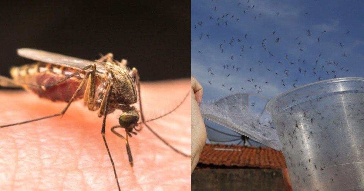 img 5410.jpg?resize=300,169 - 【予想外の結果】遺伝子組み換えされた蚊を野生に放ち撲滅する実験が失敗