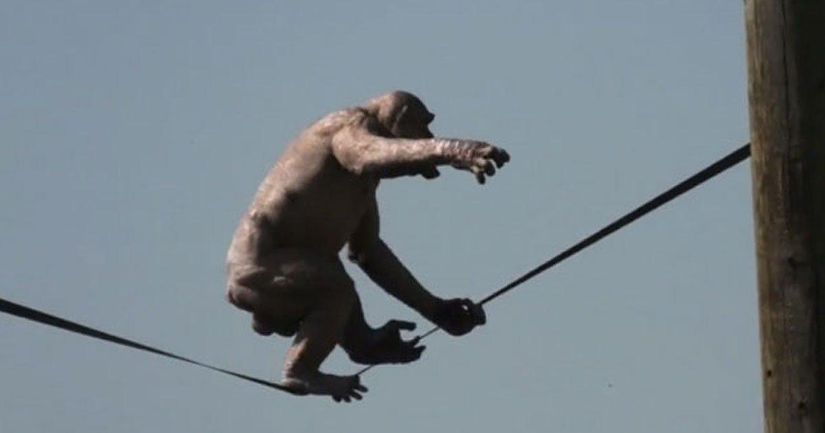 jumbo hairless chimp.jpg?resize=412,232 - Jambo The Hairless Chimp's Balancing Act At The Twycross Zoo