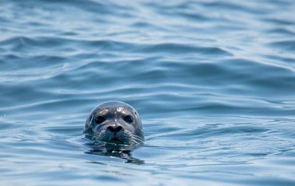 phoque.jpg?resize=300,169 - Un pêcheur est activement recherché à Dunkerque pour avoir frappé un bébé phoque
