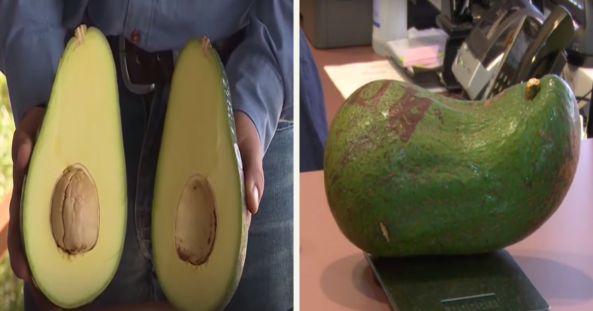 untitled 1 28.jpg?resize=1200,630 - Introducing Avozillas - Big Avocados That Weigh 4 Pounds Each