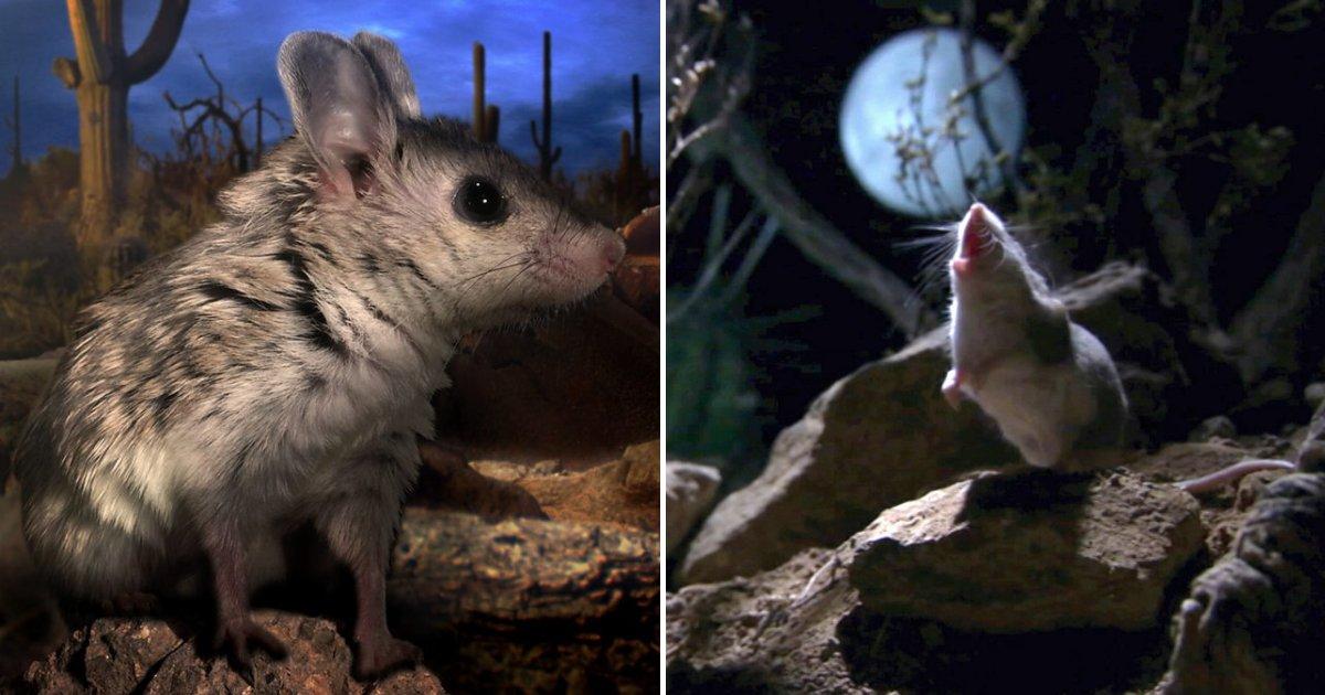 """untitled design 14.png?resize=300,169 - Les souris """"loups-garous"""" s'attaquent aux prédateurs venimeux et hurlent quand la lune apparait"""