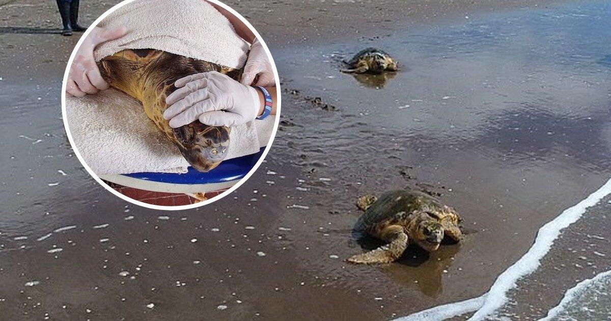 untitled design 43 1.png?resize=300,169 - Deux tortues marines ont été traitées pour des blessures causées par du plastique après avoir été sauvées d'un filet de pêche