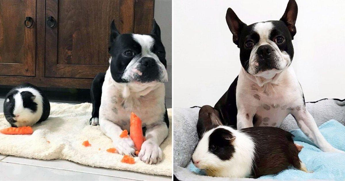 untitled design 44 1.png?resize=412,232 - Un chien et un cochon d'Inde ayant un pelage identique sont devenus meilleurs amis en pensant qu'ils étaient de vrais frères
