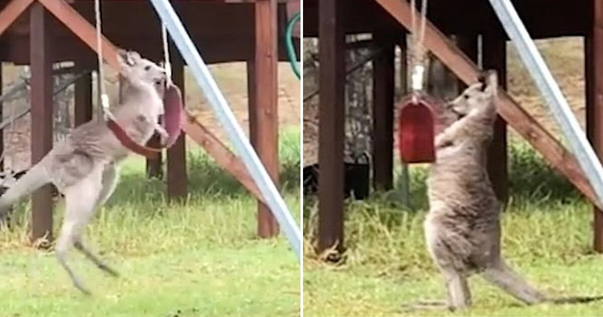 untitled design 88.png?resize=412,232 - Playful Kangaroo Caught On Camera Playing With A Swing