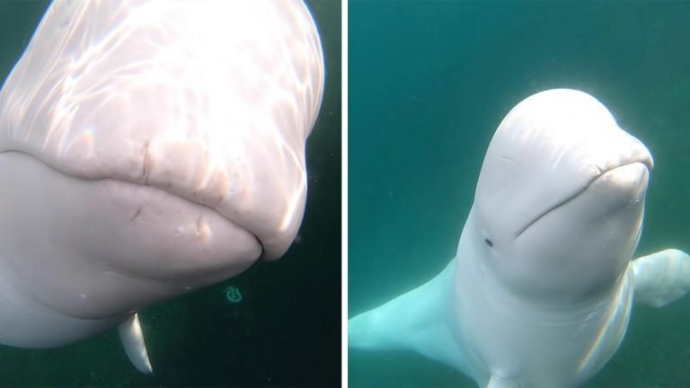 w3 4.jpg?resize=1200,630 - Beluga Whale Stole A GoPro From A Kayaker But Decided To Return It After It Finished Playing With It