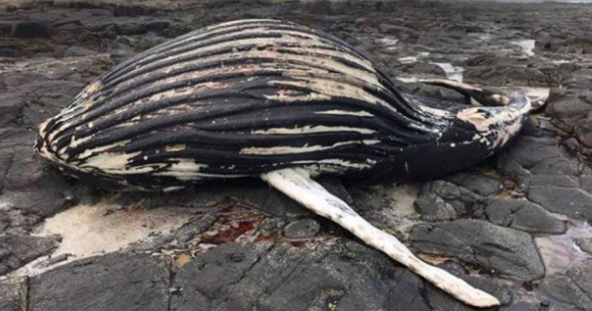 y 5.png?resize=1200,630 - Le cadavre d'une baleine à bosse échoué sur une plage du Royaume-Uni