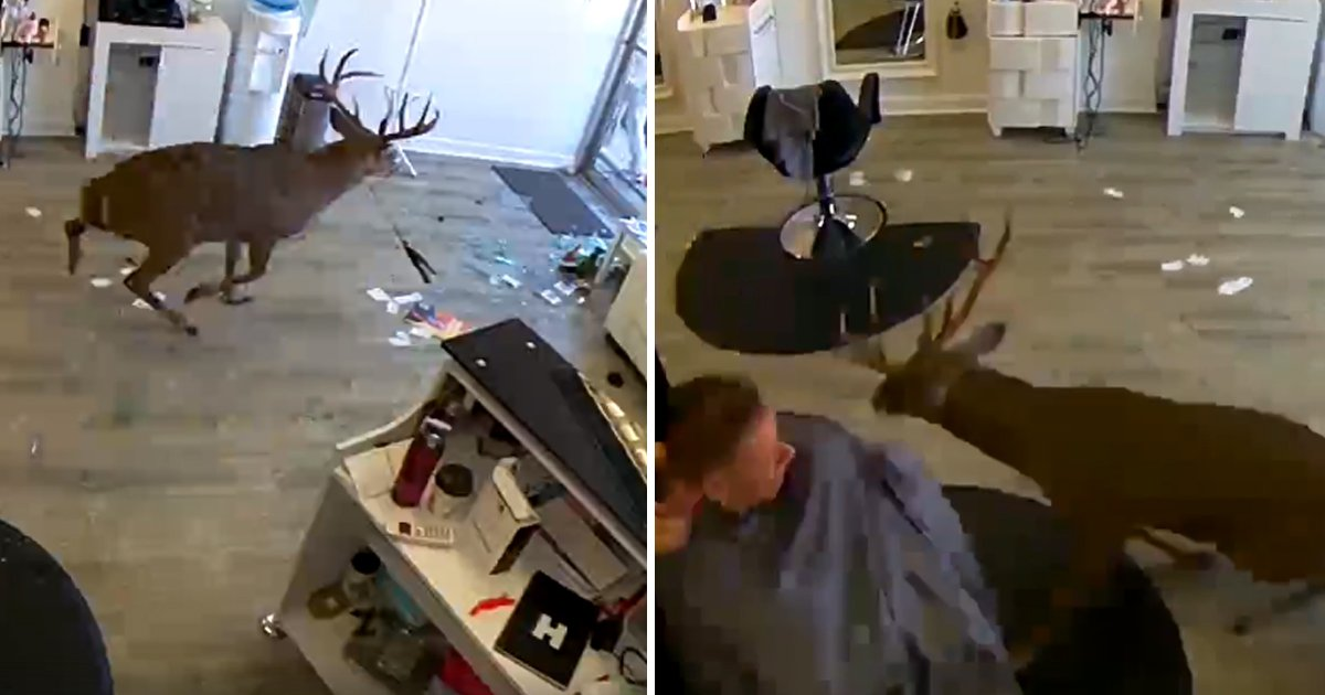 bbbdf 1.jpg?resize=1200,630 - Lost Deer Wildly Smashed The Saloon's Window When Everybody Was Busy In Normal Routine
