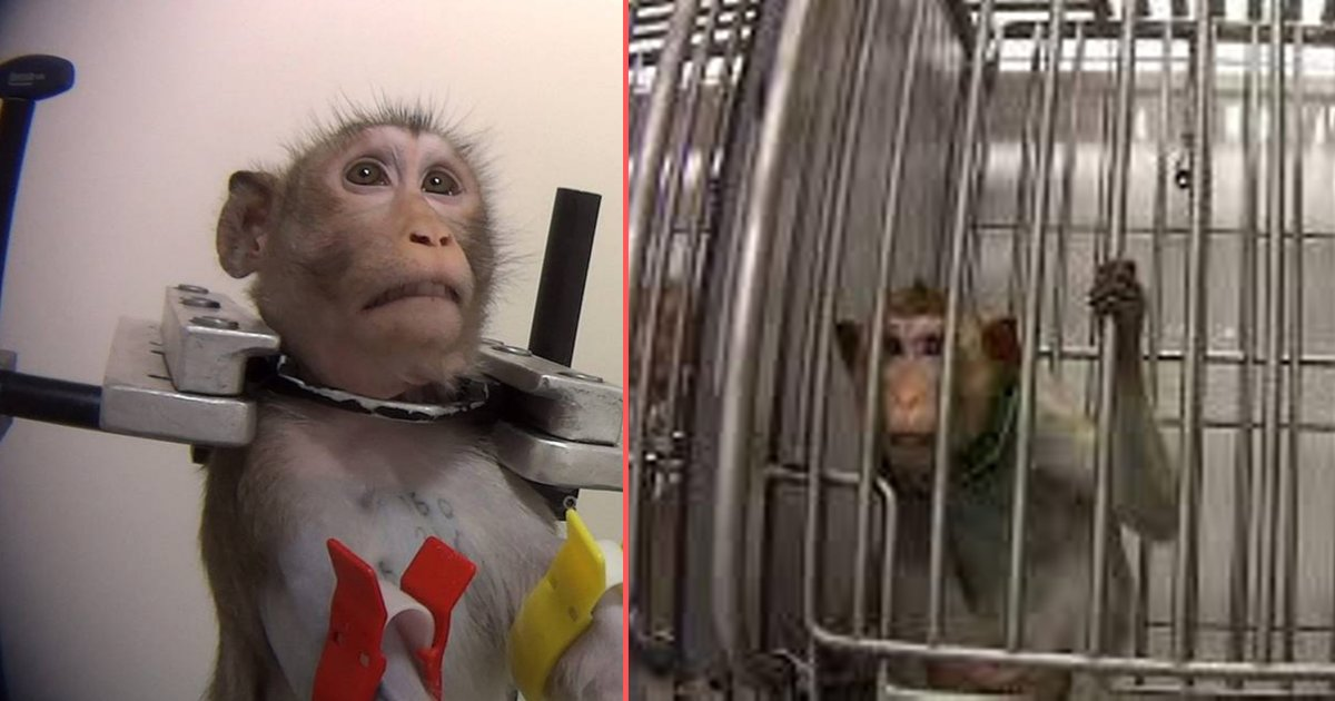 d1 2.png?resize=1200,630 - Undercover Footage Shows Extreme Cruelty Inside a German Lab as Monkeys Keep Screaming For Freedom