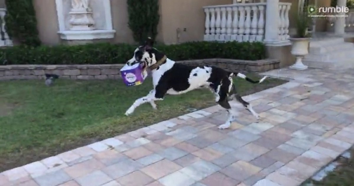 d3 5.jpg?resize=412,232 - Helpful Great Dane Loves Bringing In The Groceries From The Car