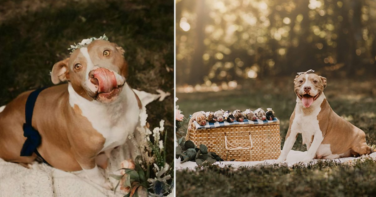 d5.png?resize=1200,630 - This Pitbull Is Glowing Immensely In Her Own Maternity Photoshoot