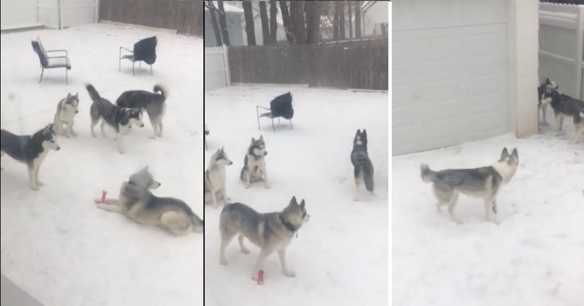 dsgdsgsdg.jpg?resize=1200,630 - Husky Dogs Enjoying In The Snow While Playing Hide And Seek
