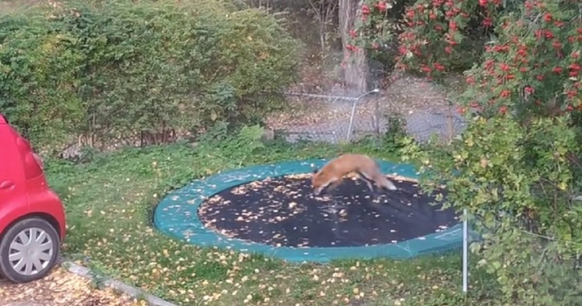f3 2.jpg?resize=1200,630 - Playful Fox Decided To Try Out A Trampoline In A Family's Backyard