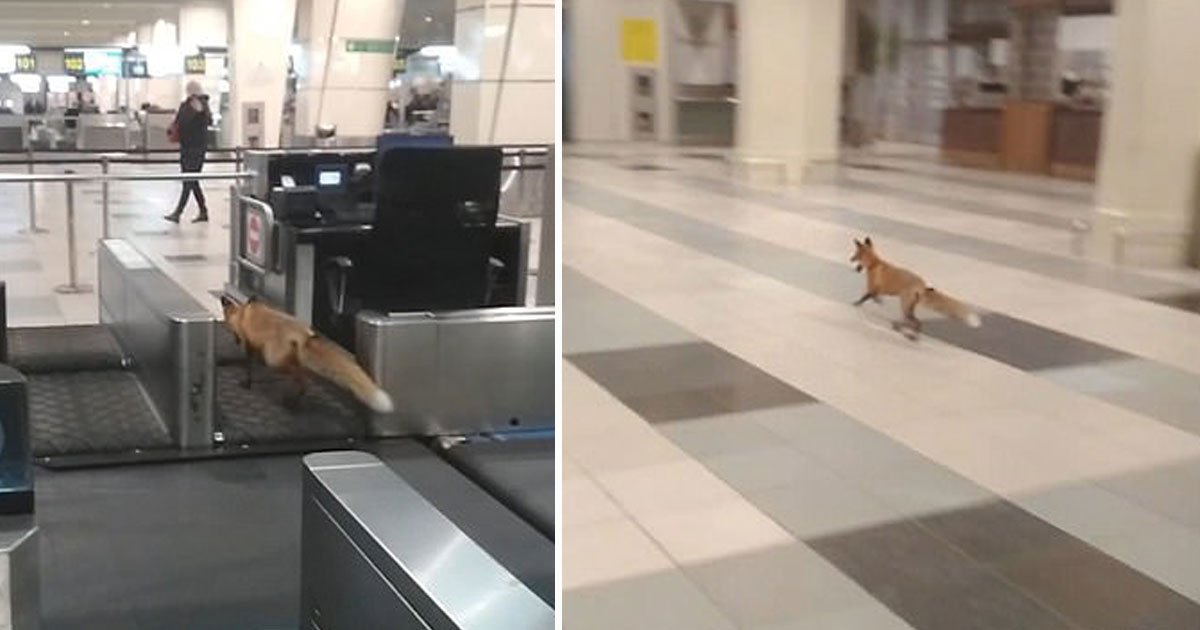 fox spotted airport.jpg?resize=412,232 - Fox Spotted Strolling Through Moscow Airport