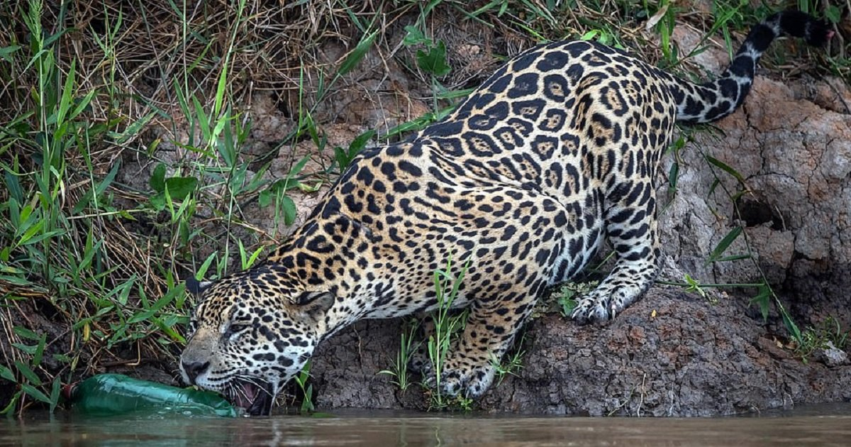 j3 1.jpg?resize=1200,630 - This Heartbreaking Photo Showed A Jaguar Playing With A Plastic Bottle - In The Wild