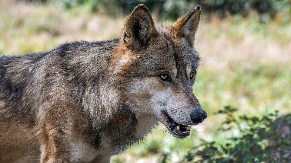 loup.jpg?resize=300,169 - Belgique: Une louve et ses petits ont été assassinés par des personnes déterminées