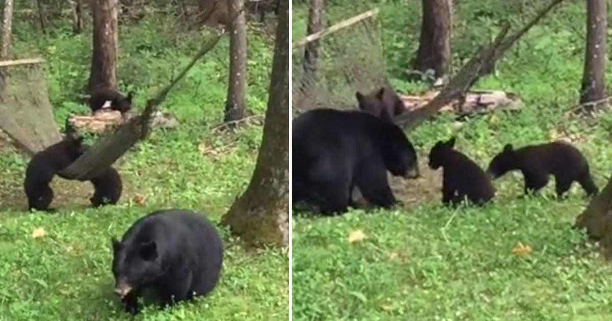 momma bear cubs hammock.jpg?resize=412,232 - Momma Bear Helped Her Cubs To Get Inside A Hammock