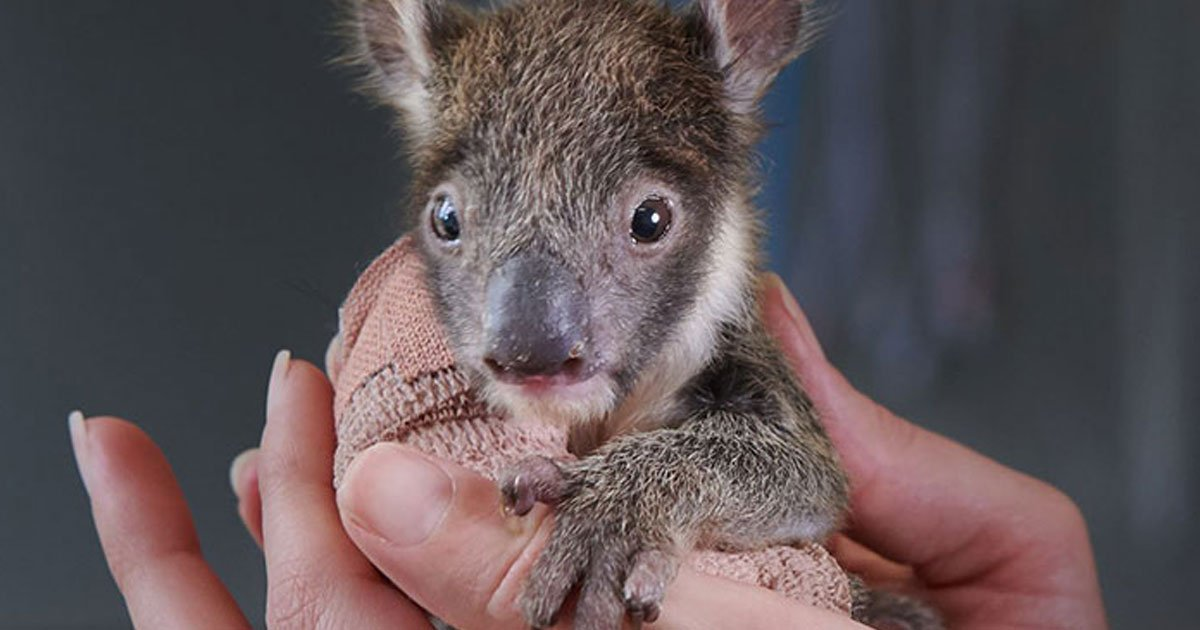 orphaned baby koala got tiny arm cast after falling from a tree.jpg?resize=300,169 - Orphaned Baby Koala Got A Tiny Arm Cast After Fracturing Her Arm
