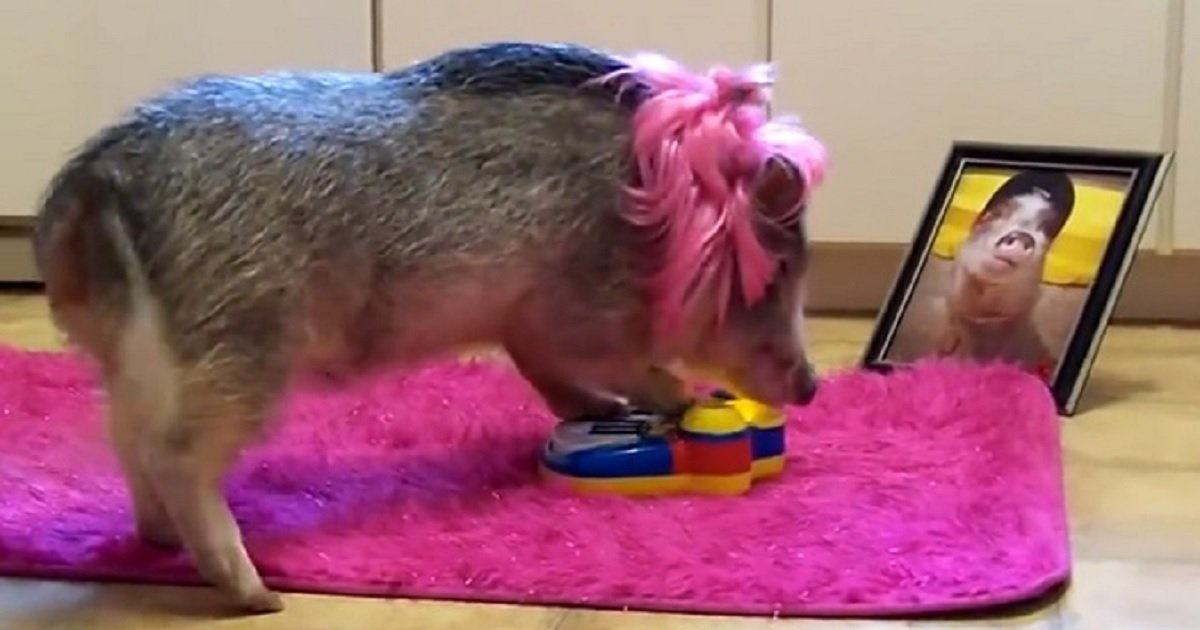p3.jpg?resize=1200,630 - This Adorable Miniature Pig Played The Piano At His 'Concert'
