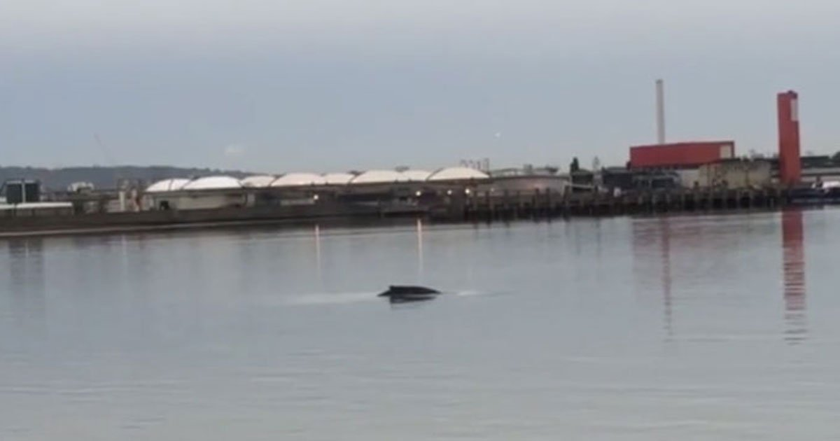 "rare humpback whale thames.jpg?resize=412,232 - Rare Humpback Whale Dubbed ""Hessy"" Spotted In The River Thames"