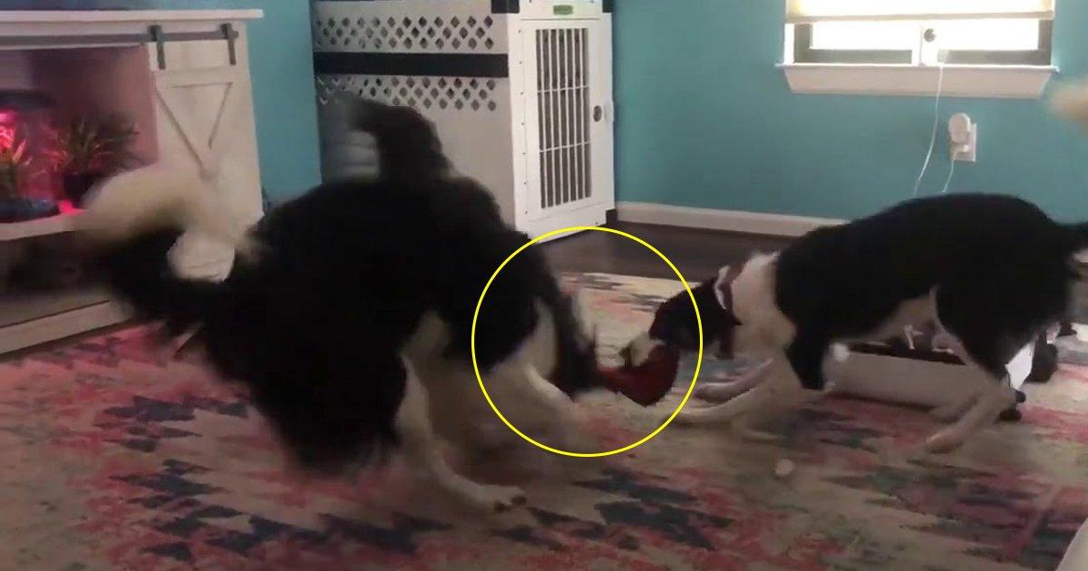 """sdfdsf.jpg?resize=300,169 - Regardez l'unique amitié de ces chiens qui jouent au """"tir à la corde"""""""