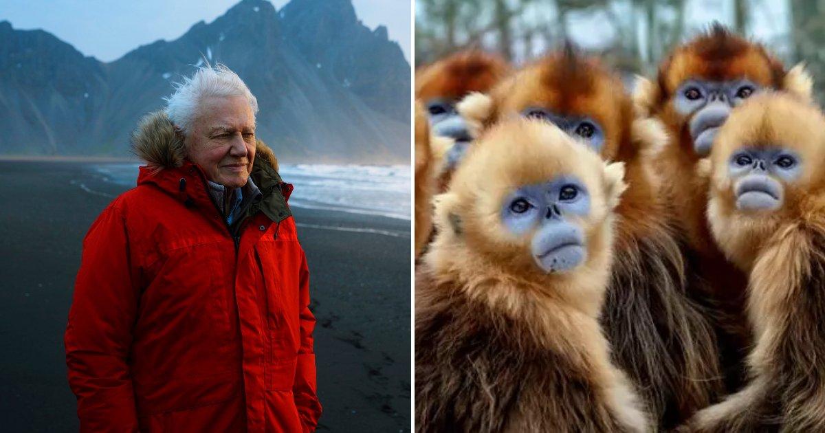series6.png?resize=412,275 - Il a fallu 50 ans à David Attenborough pour filmer un singe rare: il figurera dans son nouveau documentaire