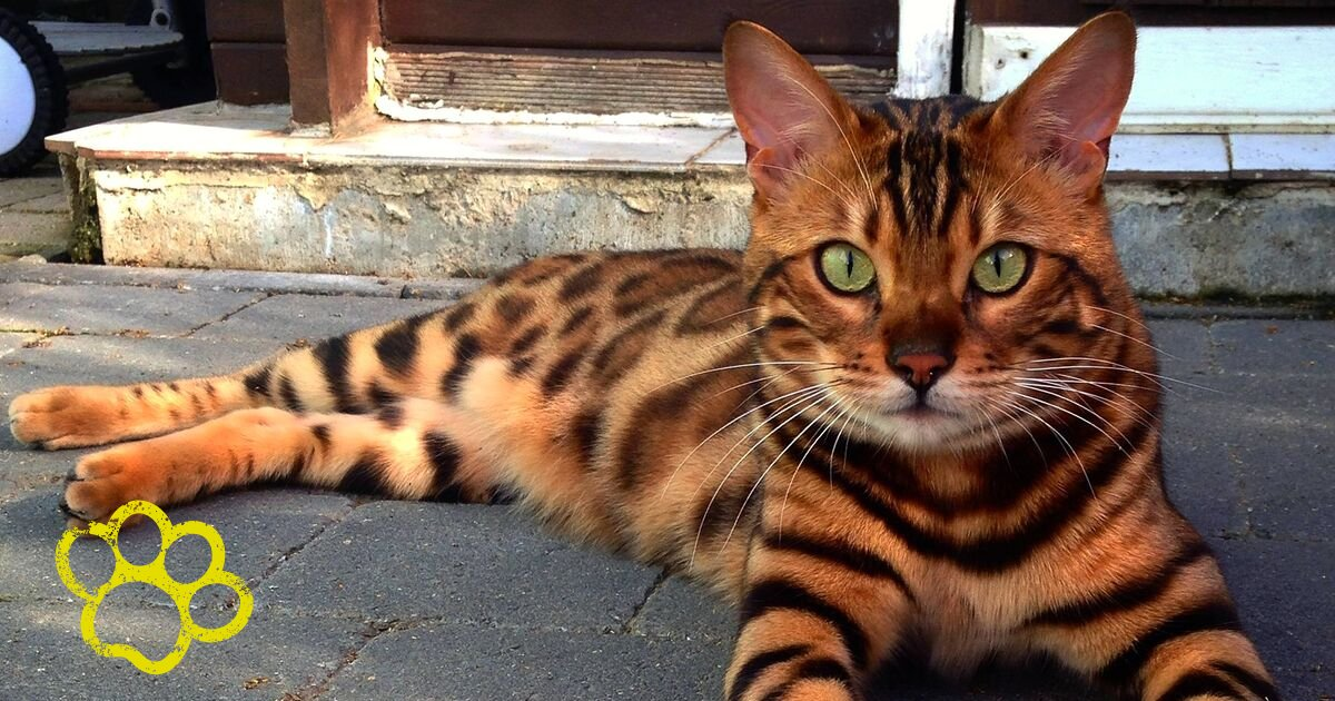 thor7.png?resize=1200,630 - Beautiful Striped And Spotted Cat Named 'Thor' Looks Like Half Tiger Half Leopard