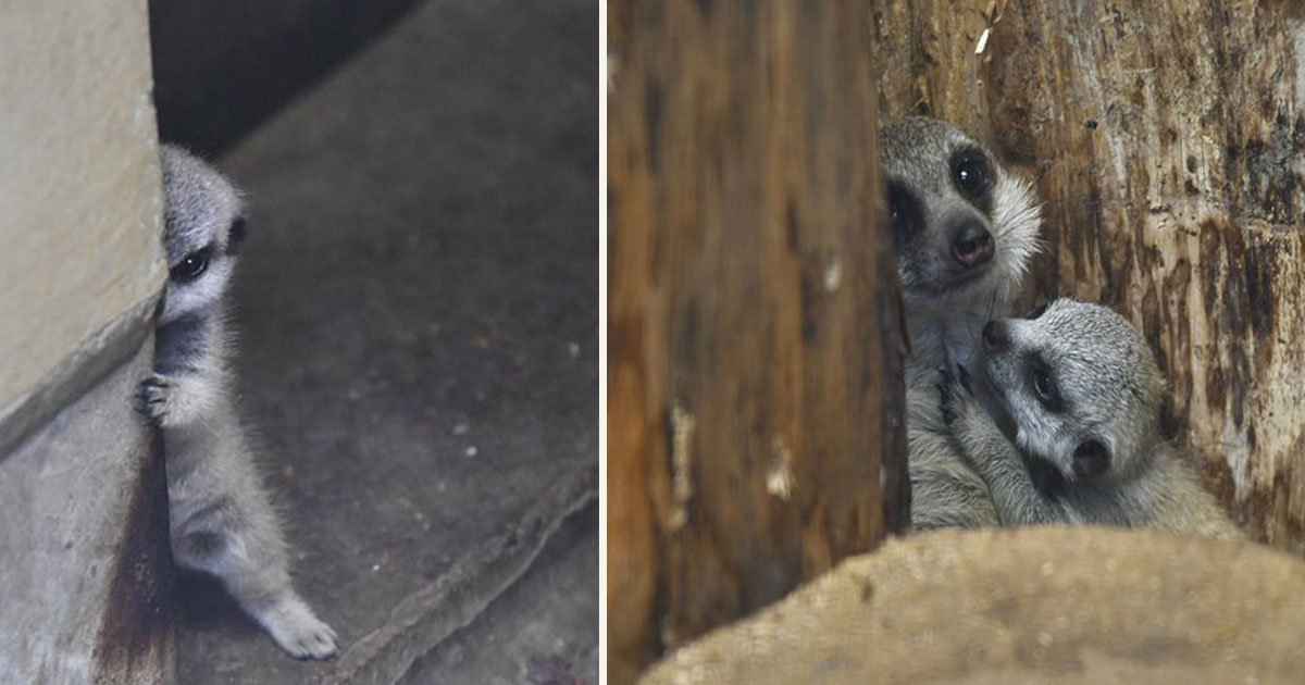 untitled 1 57.jpg?resize=412,232 - Photographer Captured Adorable Photos Of Shy-At-First Baby Meerkat And Its Family