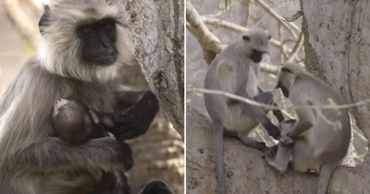 untitled design 27 1.png?resize=412,275 - Une mère singe en deuil a porté son bébé mort-né pendant dix jours