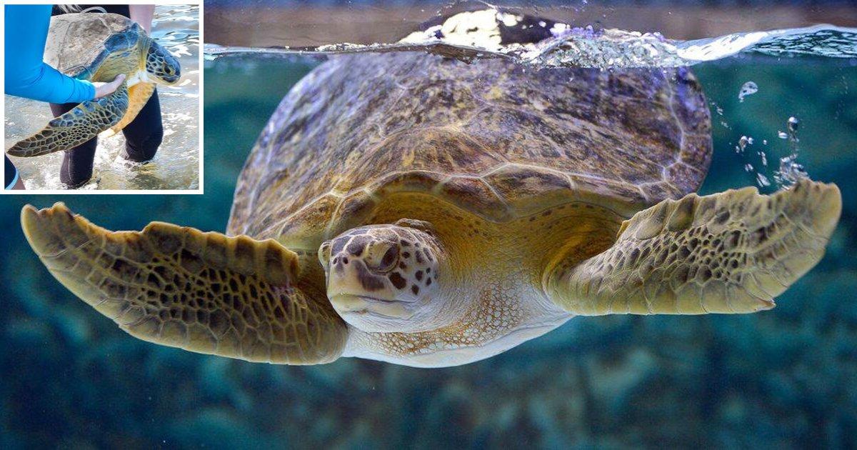 y 2 1.png?resize=188,125 - Une tortue verte à qui il manquait une palme a été traitée et remise à la mer avec succès