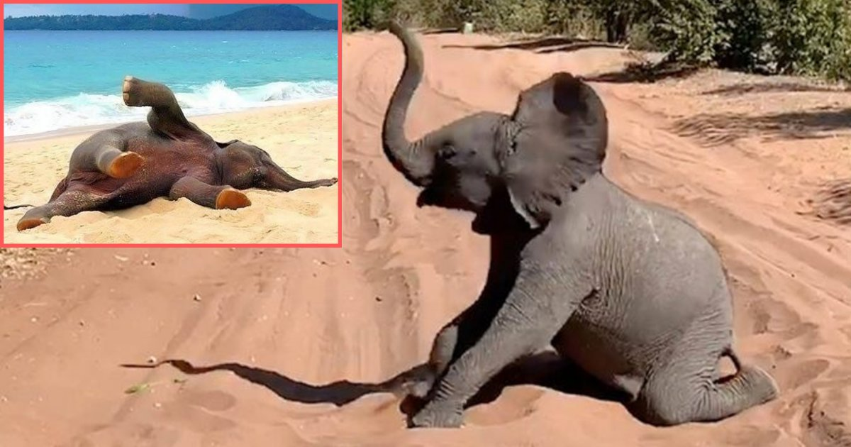 y 6 5.png?resize=412,232 - Playful Baby Elephant Blocks Safari Roads Rolling Around In The Sand