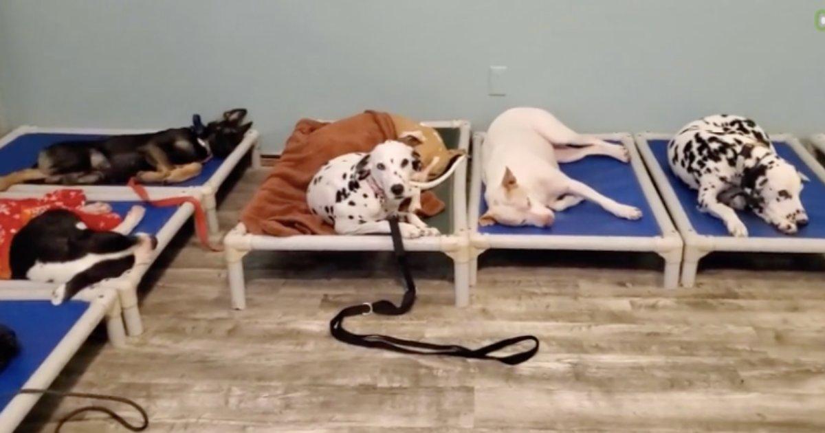y2 10.png?resize=1200,630 - Un Husky refuse de dormir s'il y a d'autres chiens dans la pièce
