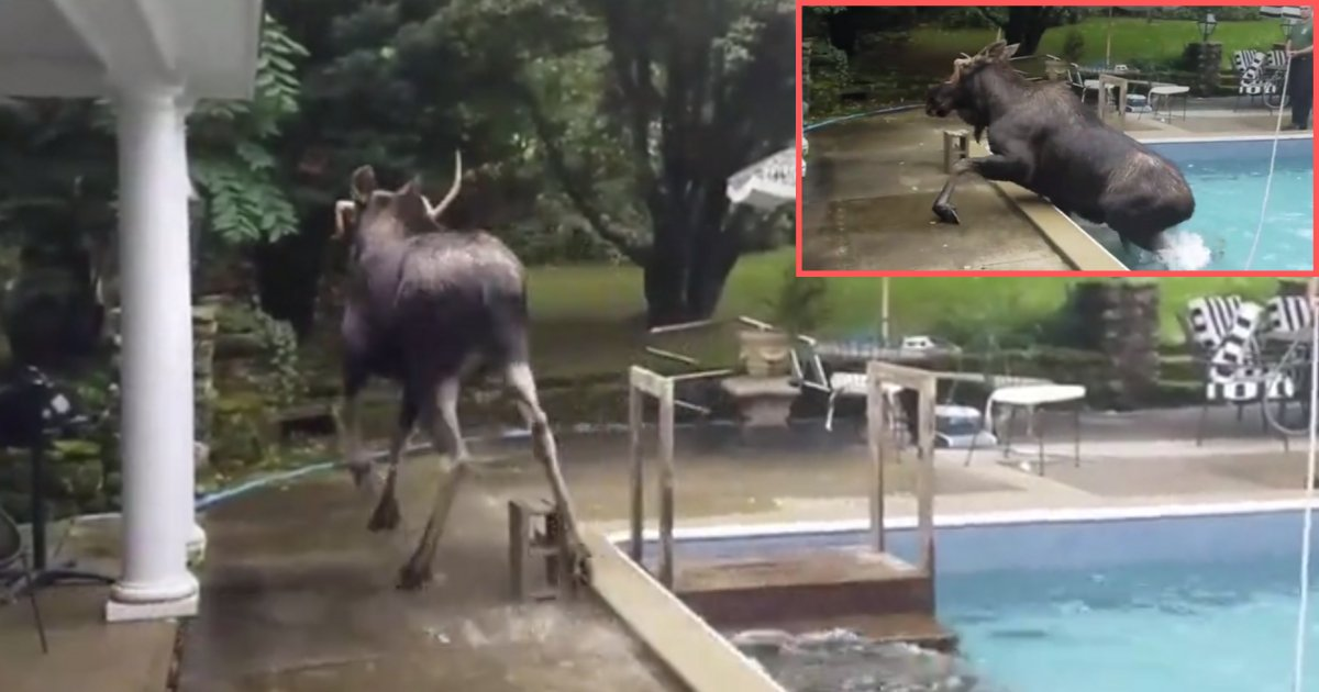 y2 2.png?resize=1200,630 - Rescuers Help This Trapped Moose Come Out of the Swimming Pool