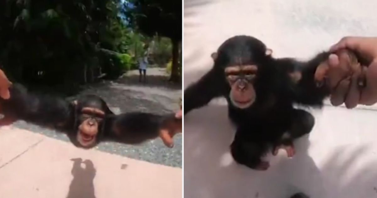 y6.jpg?resize=1200,630 - This Incredible Chimpanzee Loves Swinging By His Hands