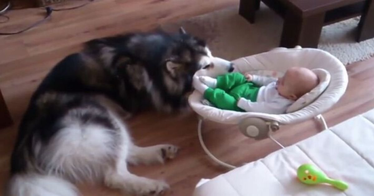 1 140.jpg?resize=300,169 - Alaskan Malamute Adorably Treats 4-Month-Old Baby As Its Own