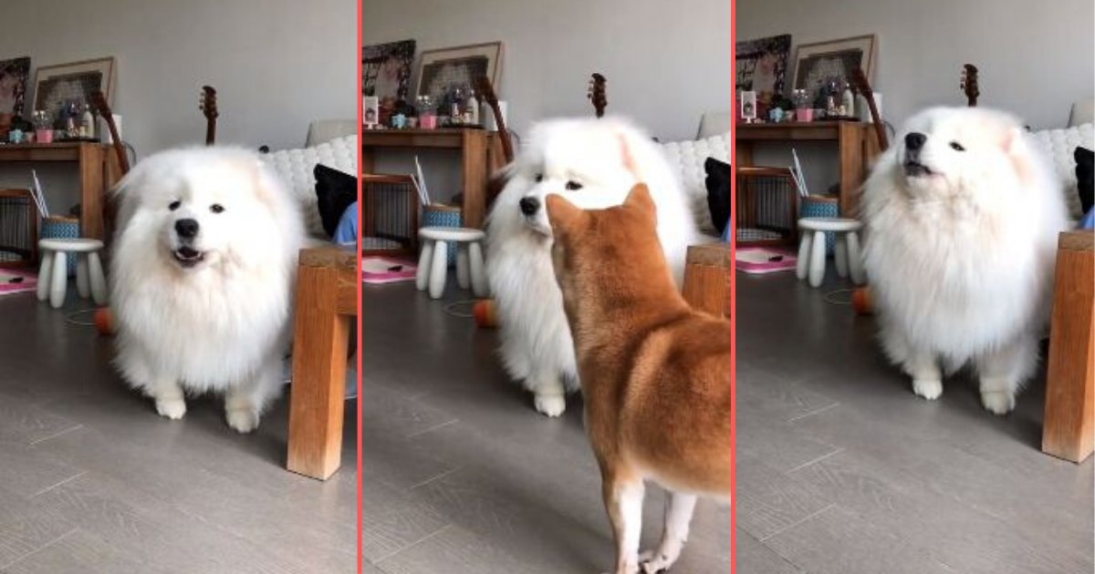 1 17.png?resize=366,290 - Samoyed Howls Along With the Music and Shiba Inu Gets Baffled