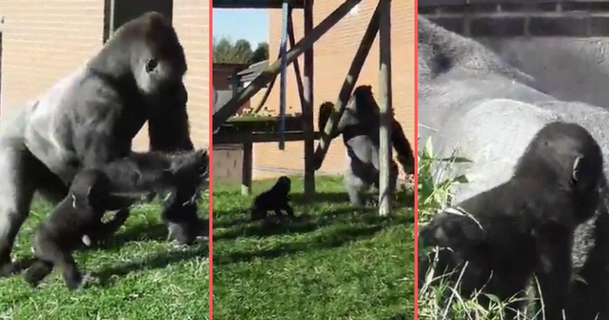 1 36.png?resize=366,290 - Un père gorille discipline son bébé devant tout le monde au zoo