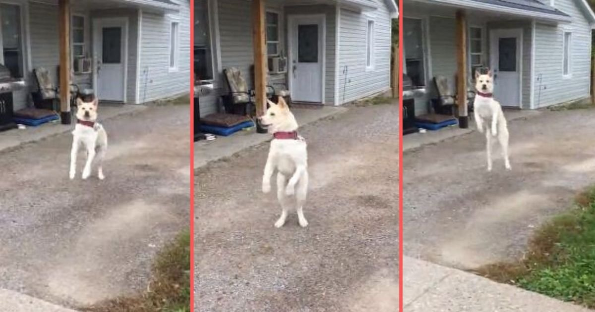2 135.jpg?resize=412,232 - American Akita Literally Jumps For Joy When the Owner Comes Home