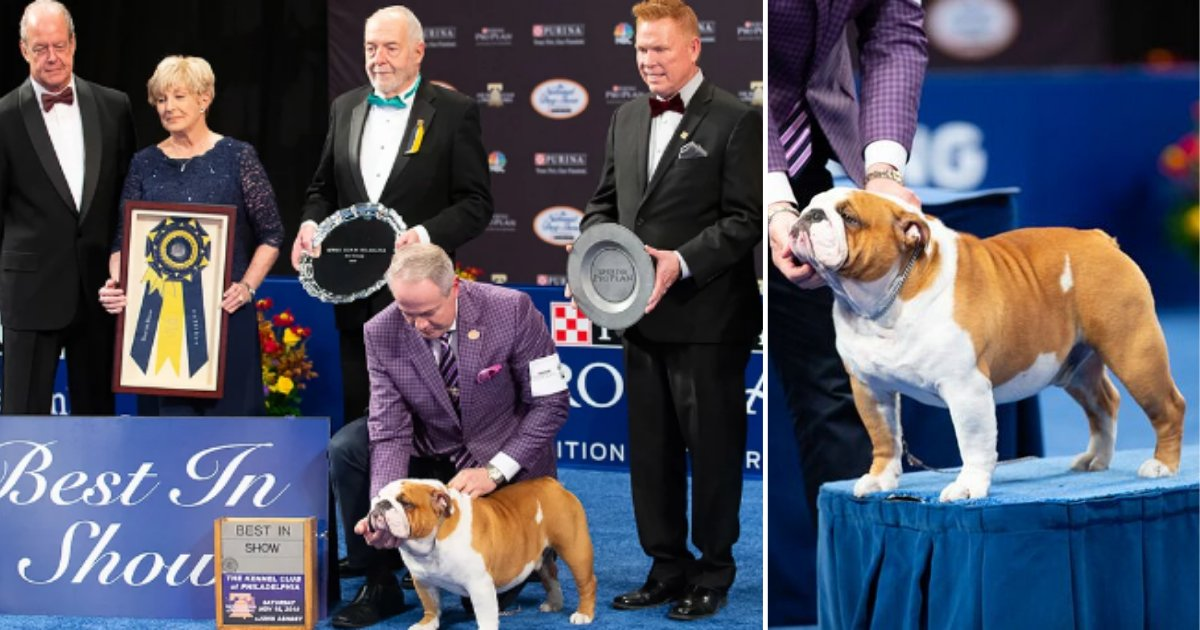 4 34.png?resize=1200,630 - Thor The Bulldog Won The Best in The Show At 18th Annual National Dog Show
